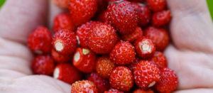 Ilusad punased maasikad inimese kätes, mis illustreerivad Peipsi projekte ja tegevuskavasid ning turundusmaterjale ja turismi